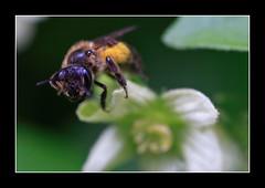 Honey Bee..17 June 2007 (strussler) Tags: england flower macro canon insect eos 50mm sigma surrey 5d hop honeybee westclandon specanimal animalkingdomelite strussler