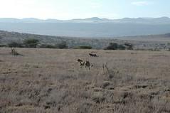 094 - Lewa - Cheetahs (FO Travel) Tags: kenya nairobi nakuru karama lewa baringo naivasha turkana gabra chalbi suguta nariokotome kalacha loyangalani logipi