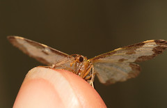 """Moth on my finger • <a style=""""font-size:0.8em;"""" href=""""http://www.flickr.com/photos/57024565@N00/762390328/"""" target=""""_blank"""">View on Flickr</a>"""