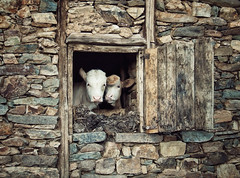 Window of Love (AIeksandra) Tags: old travel window face rural village cows faces expression serbia photojournalism documentary social balkans balkan oldwall flickrsbest vranje bujanovac