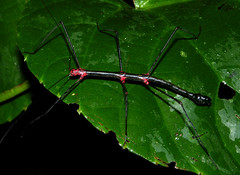 Aposematic stickinsect (Oreophoetes topoense), Ecuador (Arthur Anker) Tags: macro nature ecuador amazon rainforest insects stick stickinsect phasmatodea aposematism