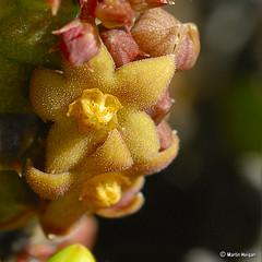 Richtersveldia columnaris flowers in habitat - by Martin_Heigan