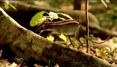 13 leptictidium cubs' 1st hunt