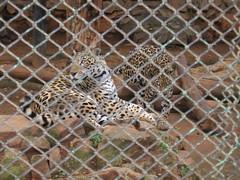 Sri Chamarajendra Zoological Gardens (dciandy) Tags: india zoo leopard mysore mysorezoo srichamarajendrazoologicalgardens
