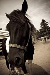 Ace of Clubs (Lali) Tags: summer horse canada caballo cheval ace brudenell princeedwardisland equestrian pei animalkingdomelite diamondclassphotographer coolestphotographers summerinthemaritimes summerinhalifax