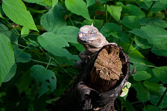 Black Spiny-tailed Iguana (medXtreme) Tags: animals schweiz switzerland papiliorama landwirbeltieretetrapoda schwarzerleguan blackspinytailediguana iguanenoir reptilienreptilia kiefermulergnathostomata vielzelligetieremetazoa wirbeltierevertebrata kantonfreiburgfr schuppenkriechtieresquamata leguanartigeiguania kerzersfr gemeinerschwarzleguanctenosaurasimilis leguaneiguanidae schwarzleguanectenosaura
