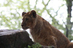 Lionceau (monsieurson) Tags: zoo lion jurques lionceau