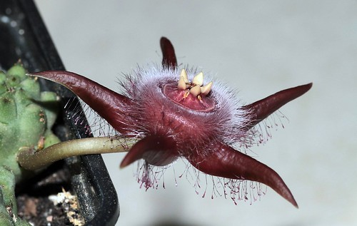 Duvalia corderoyi (Apocynaceae / Asclepiadaceae)