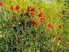 SNB19344- Poppies (Rolye) Tags: pictures flowers france flower fleur fleurs yahoo google view shot image shots picture samsung www images views poppies com picturesque popy ops coquelicot lehavre coquelicots nv7 rolye