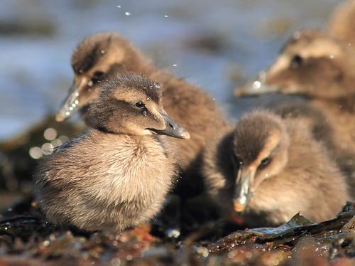 Common eider ducklings