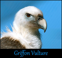 Stinky Scavenger ? (Steve Wilson - over 2 million views thank you) Tags: africa uk portrait england macro bird up animal closeup zoo nikon asia europe close cheshire head wildlife beak feathers chester prey vulture d200 carrion predator curved avian birdofprey scavenger carnivore hooked griffon upton chesterzoo griffonvulture nikond200 caughall