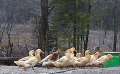 My gorgeous Saxony ducks