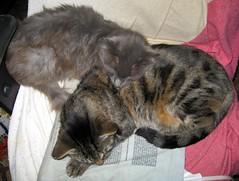 Blueboy and Paul sharing a heating pad on a cool evening. (Hairlover) Tags: pet cats pets public cat kitten kitty kittens kitties threeleggedcat hairlover allcatsnopeople 21yearoldcat 26yearoldcat