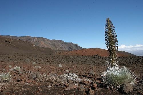 Silversword at Haleakala