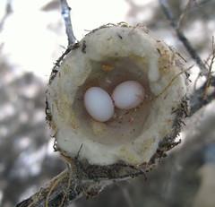 Black-chinned Hummingbird Nest & Eggs (Patrick Dockens) Tags: arizona usa bird nest az eggs archilochus blackchinnedhummingbird archilochusalexandri mohavecounty wikieup bigsandyriver
