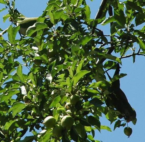 Two Parrots in Apple Tree