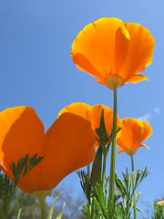 I am standing in your sunlight (Shari Diane) Tags: blue sky orange flower nature poppy soe californiapoppies supershot abigfave colorphotoaward aplusphoto