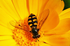 """Hoverfly on Flower(1) • <a style=""""font-size:0.8em;"""" href=""""http://www.flickr.com/photos/57024565@N00/683591595/"""" target=""""_blank"""">View on Flickr</a>"""
