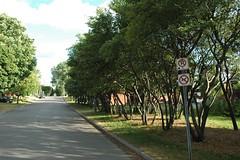 saskatoon berry trees