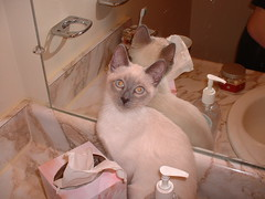Blue point Siamese female (exoticats4u) Tags: blue red cats brown color home point eyes feline chocolate kitty siamese kittens flame lilac seal kitties felines rare lynx