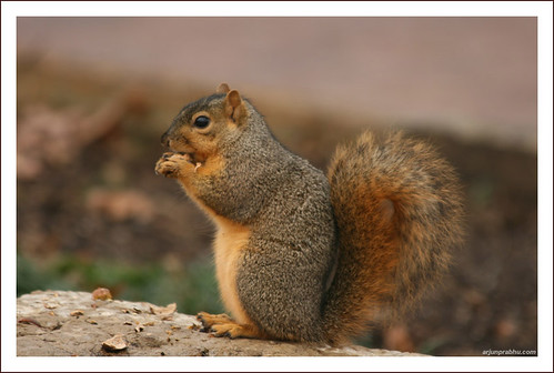 Squirrel eating Nut - Side Profile