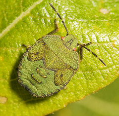 "Shieldbug Nymph (instar)(2) • <a style=""font-size:0.8em;"" href=""http://www.flickr.com/photos/57024565@N00/1437337793/"" target=""_blank"">View on Flickr</a>"
