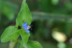 azul (IngeKühn) Tags: blue brazil plant flower color verde green planta azul brasil peace flor paz jardimbotânico cerrado botanicalgarden cor brasilia