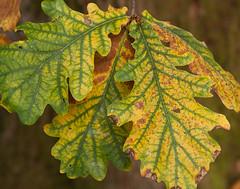 Monteviot House Gardens-19 (davidmunro) Tags: autumn leaves scotland oak monteviot