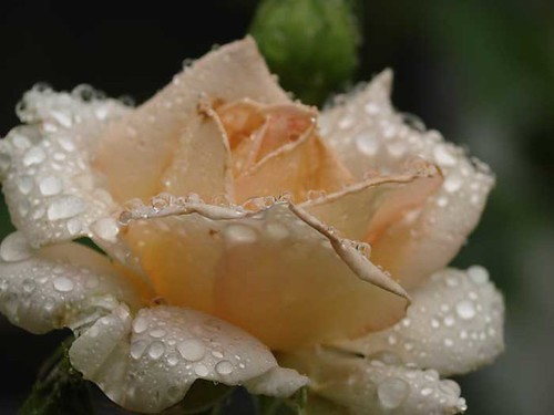 white rainy rose
