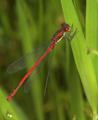 "Large Red Damselfly (Pyrrhosoma nymp(25) • <a style=""font-size:0.8em;"" href=""http://www.flickr.com/photos/57024565@N00/538760654/"" target=""_blank"">View on Flickr</a>"