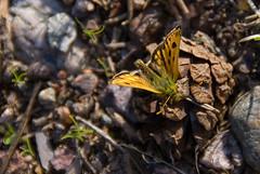 Orange butterfly TBD