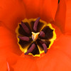 BT451 Tulip (listentoreason) Tags: red plant flower color nature closeup canon unitedstates pennsylvania favorites places tulip longwoodgardens monocot liliales score50 ef28135mmf3556isusm