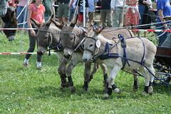 IMG_8695.jpg (roadtek) Tags: donkey esel