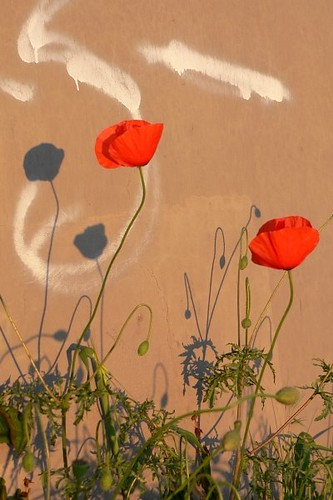 photo of poppies by a wall, their shadows collaborating with the graffiti there.
