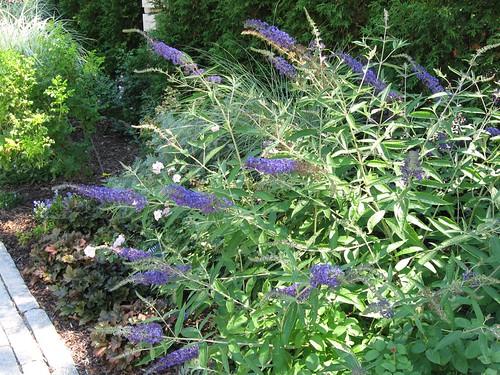 Butterfly bush...
