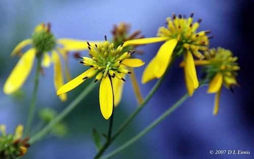 Tickseed (Coreopsis verticillata)