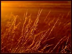 Golden grass (Kirsten M Lentoft) Tags: light sunset topf25 field grass topv111 bravo soe peopleschoice blueribbonwinner mywinners abigfave colorphotoaward superaplus aplusphoto momse2600 diamondclassphotographer flickrdiamond megashot superhearts overtheexcellence excapture bachspicsgallery thegoldendreams kirstenmlentoft