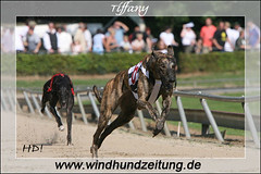 Greyhound Tiffany