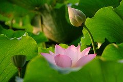 Water lily greets morning sun  (Y. Peter Li Photography) Tags: pink flowers sun lake west flower green water leaves sunrise leaf lily explore hangzhou    zhejiang
