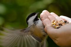Underneath (Martica) Tags: bird lenstagged edmonton feeding chickadee canon350d rivervalley canon70200f4l hawrelakpark handfeeding img8354