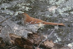 Toxostoma rufum (Brown Thrasher) (Arthur Chapman) Tags: ontario canada brownthrasher toxostomarufum bigchute toxostoma rufum marinerailway taxonomy:order=passeriformes taxonomy:class=aves taxonomy:kingdom=animalia taxonomy:phylum=chordata geo:country=canada taxonomy:family=mimidae geocode:accuracy=200meters geocode:method=googleearth taxonomy:binomial=toxostomarufum taxonomy:common=brownthrasher taxonomy:genus=toxostoma