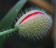 Poppy blossom birth! (Shandchem) Tags: red macro birth poppy bud hairs papaver flowerhead fantasticflower flowersmacroworld