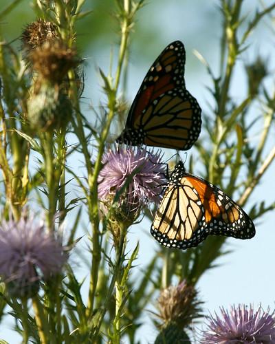 MonarchMigrationEmiquonClarkRoadPathway09122010JGW_MG_3111