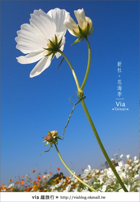 【2010新社花海】via帶大家欣賞全台最美的花海!26