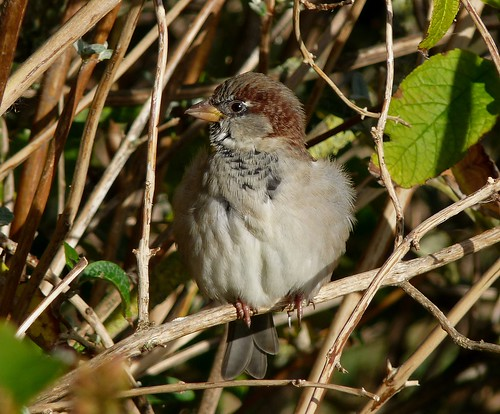 23632 - House Sparrow, Dorest