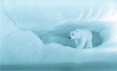 Explore ... your freezer (Nada*) Tags: bear christmas xmas blue winter snow ice nature animals fun miniature photo fridge melting earth joke fake polarbear environment iceberg polar freezer artic globalwarming earthday photooftheday northpole icecaps i157 bestthebest