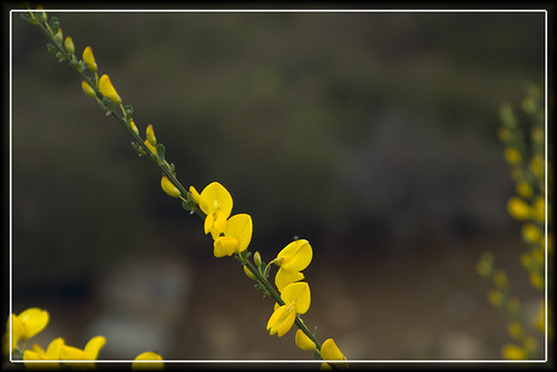 yellow gorse flowers closeup