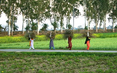 Ladies Carrying Wood (Manny Pabla) Tags: wood ladies woman india rural work canon landscape rebel women village indian desi farms sikh punjab punjabi greenrevolution kaur pind panjab hoshiarpur nawanshahr rurkikhas garhshankar