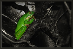 The Prayer of the Frog (Rickydavid) Tags: verde green prayer frog rana preghiera ishflickr utata:project=colorexperiment