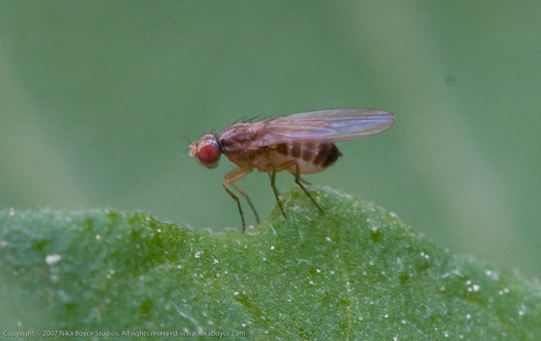 Garden Project:  fruit fly